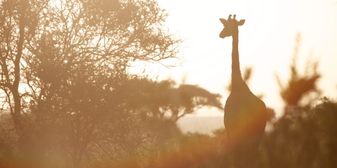 giraffe boma africa safari tanzania kilimanjaro wildlife