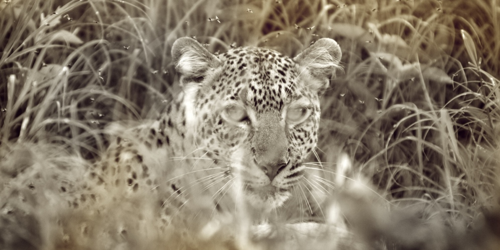 Leopard in the grass. Photo by Jarrad Seng. Boma Africa