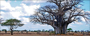 "Tanzania trees - Photo by <a href=""https://www.flickr.com/photos/bierbauer/5343833265/"" target=""blank_"">Manuel Bierbauer</a>"