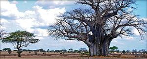 "Tanzania trees - Photo by <a href=""https://www.flickr.com/photos/bierbauer/5343833265/"" target=""blank_"">Manuel Bierbauer</a>"