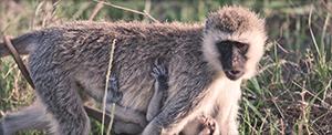 Monkey - Wildlife safari