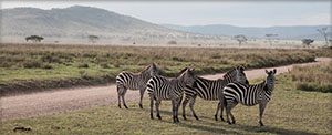 Wild zebras in the Serengeti