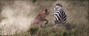 A lion attacks a zebra in the Serengeti