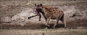 A hyena in Ngorongoro crater