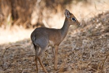 Dik Dik. Photo by Andrew Knapp. Boma Africa.