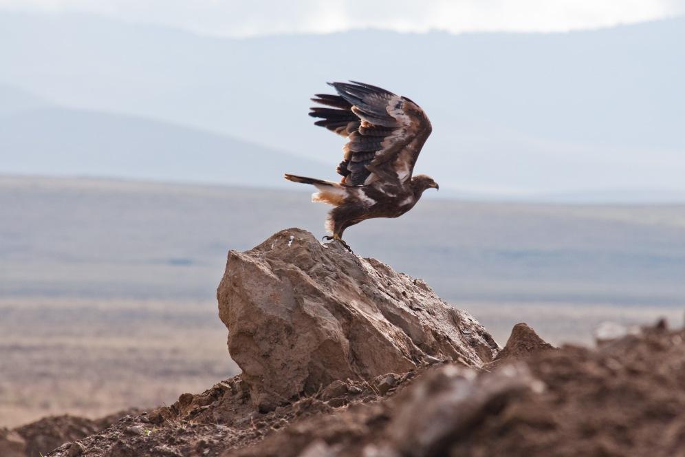 Eagleboma africa safari tanzania kilimanjaro wildlife ngorongoro