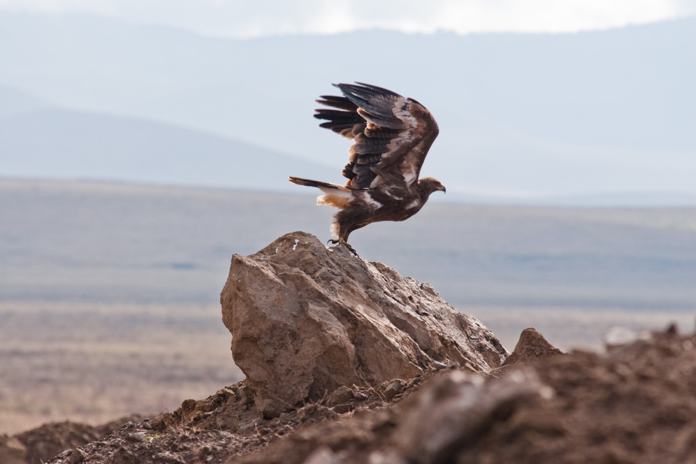 Eagle takes flight in Ngorongoro Conservation Area. Photo by Andrew Knapp. Boma Africa