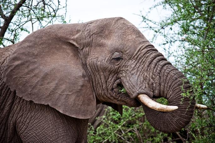 Elephant, Tarangire boma africa safari tanzania kilimanjaro wildlife