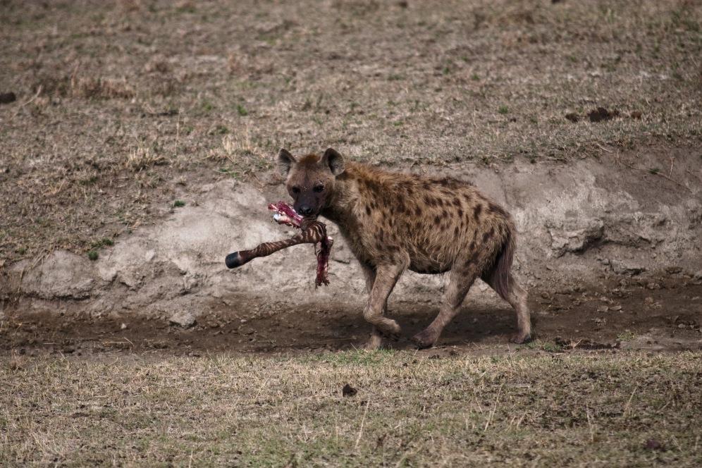 Hyena Ngorongoro boma africa safari tanzania kilimanjaro wildlife