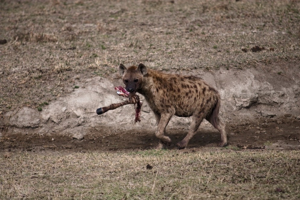 Hyena takes her share. Ngorongoro Conservation Area. Photo by Andrew Knapp. Boma Africa