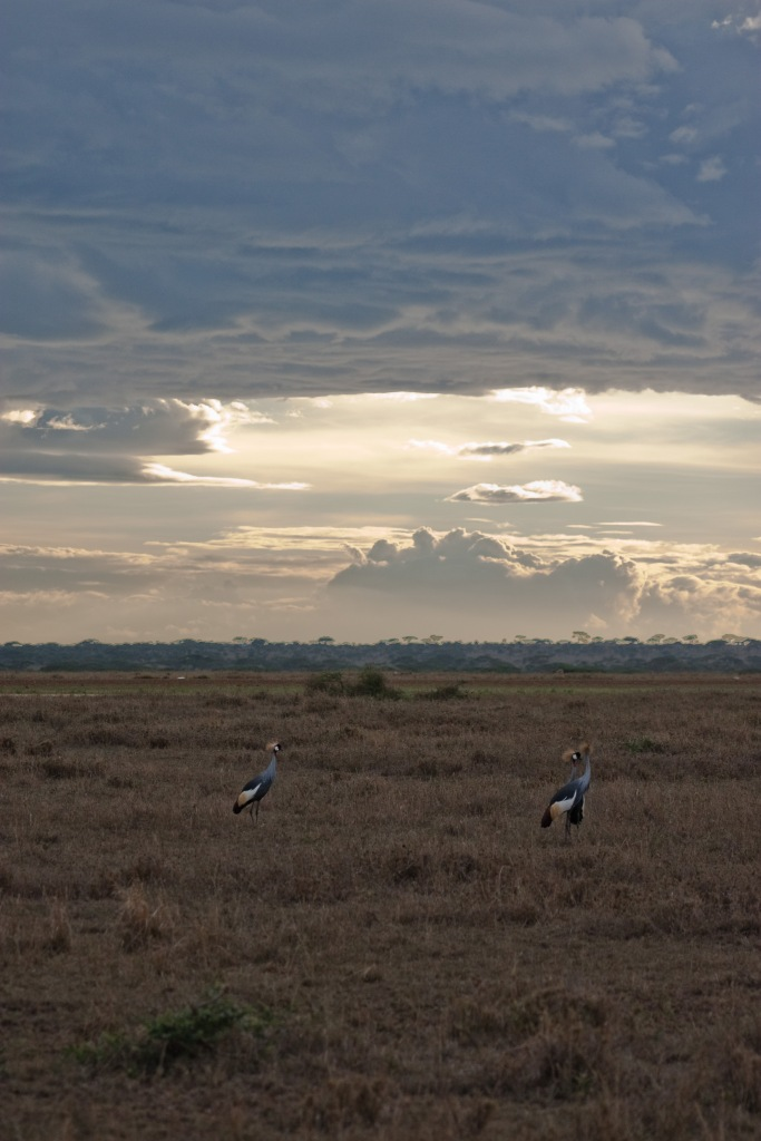 Crown Cranes. Photo by Andrew Knapp. Boma Africa