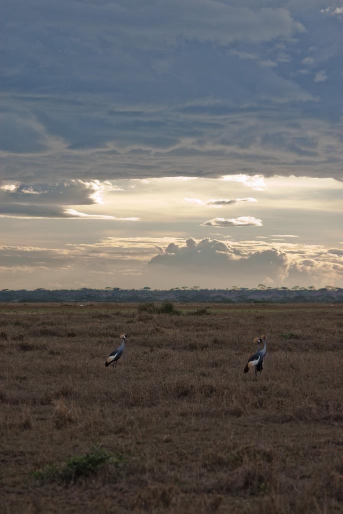 Crown Cranes boma africa safari tanzania kilimanjaro wildlife serengeti