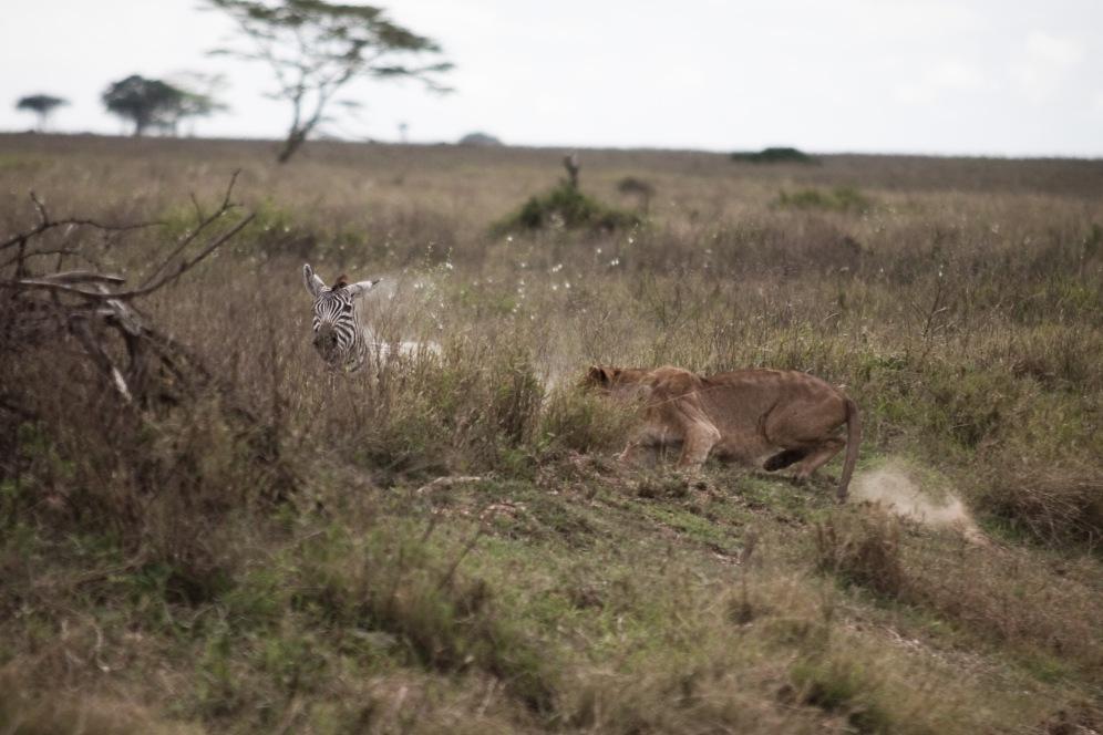 Zebra lioness boma africa safari tanzania kilimanjaro wildlife serengeti