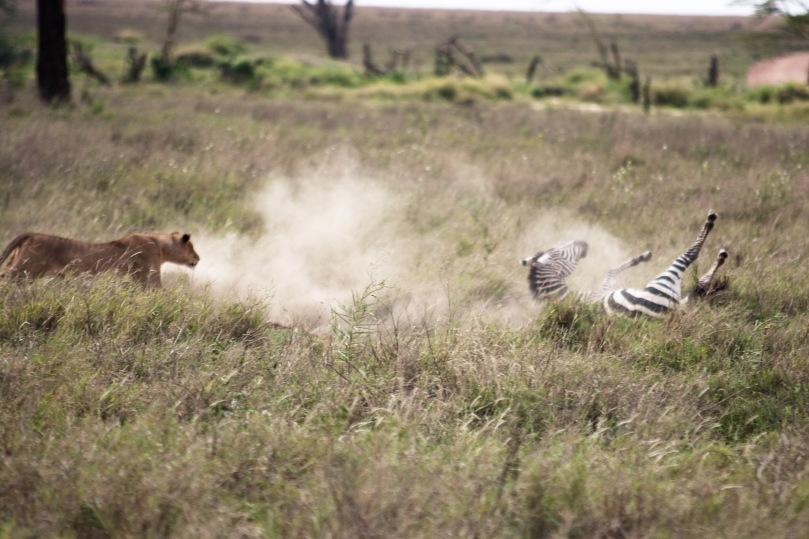 Zebra  Serengeti boma africa safari tanzania kilimanjaro wildlife