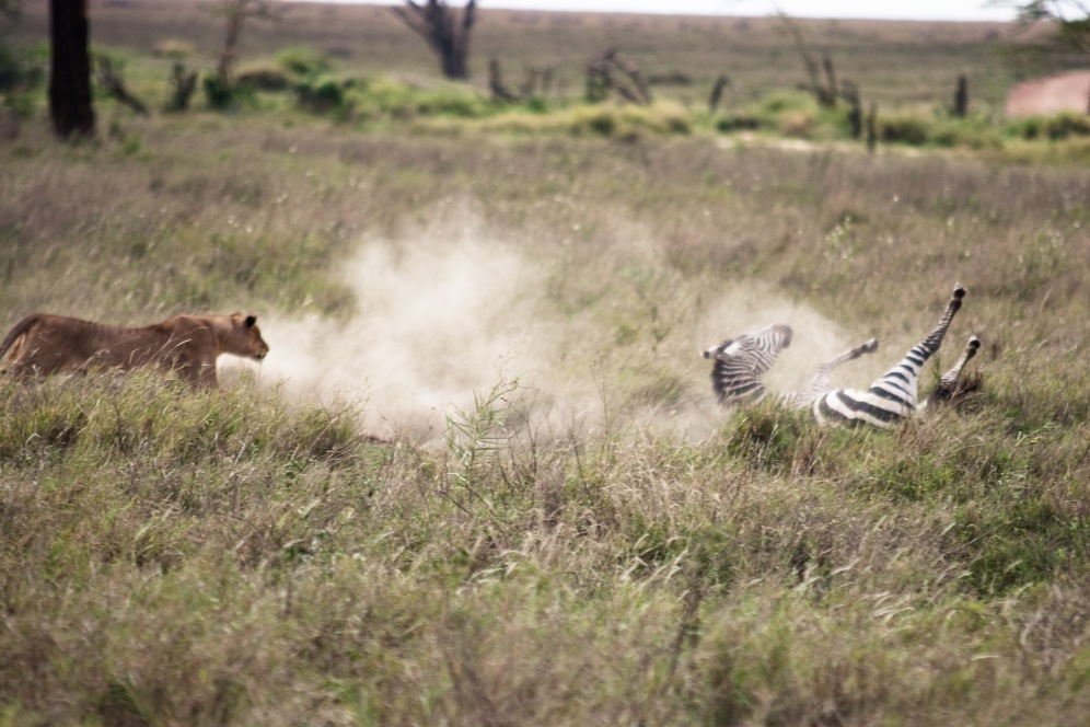Zebra Hunt. Serengeti National Park. Photo by Andrew Knapp. Boma Africa