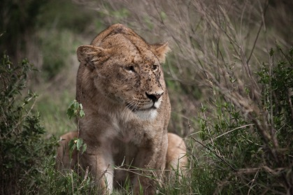 lioness boma africa safari tanzania kilimanjaro wildlife serengeti