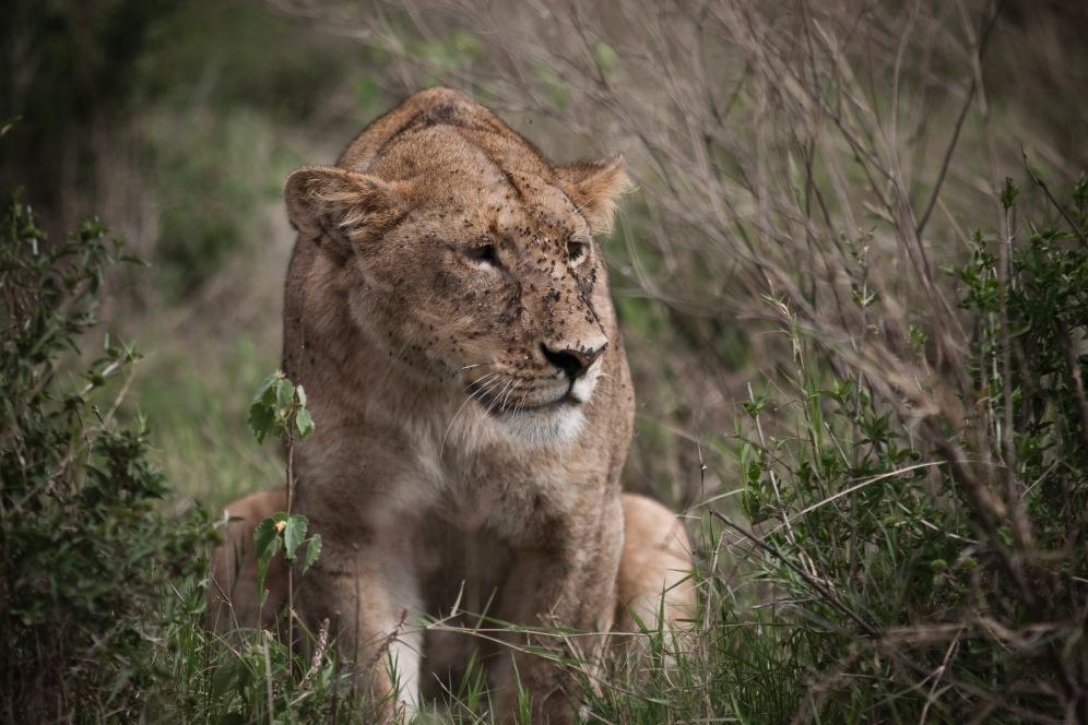 lioness ngorongoro- knapp- safari- picture- boma africa