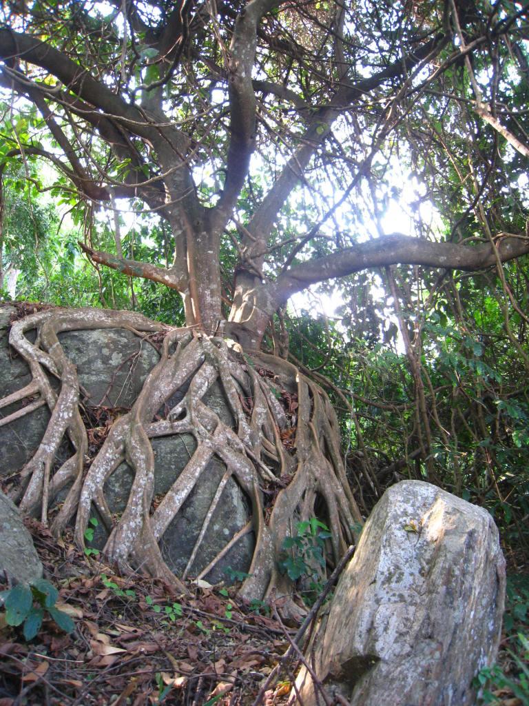 Strong roots, parasite tree. Udzungwa. Boma Africa