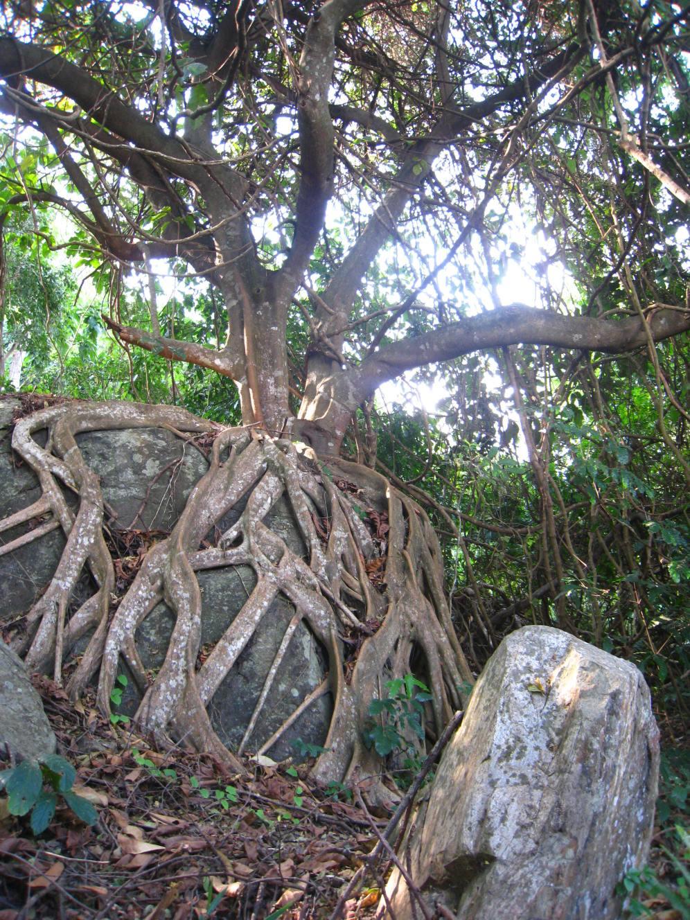 roots parasite tree Udzungwa glacier boma africa safari tanzania kilimanjaro wildlife