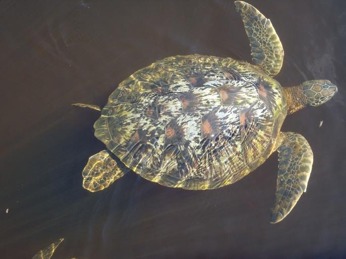 sea turtle glacier boma africa safari tanzania kilimanjaro zanzibar wildlife coast beach