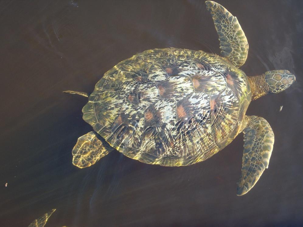 Sea Turtle. Zanzibar. Boma Africa
