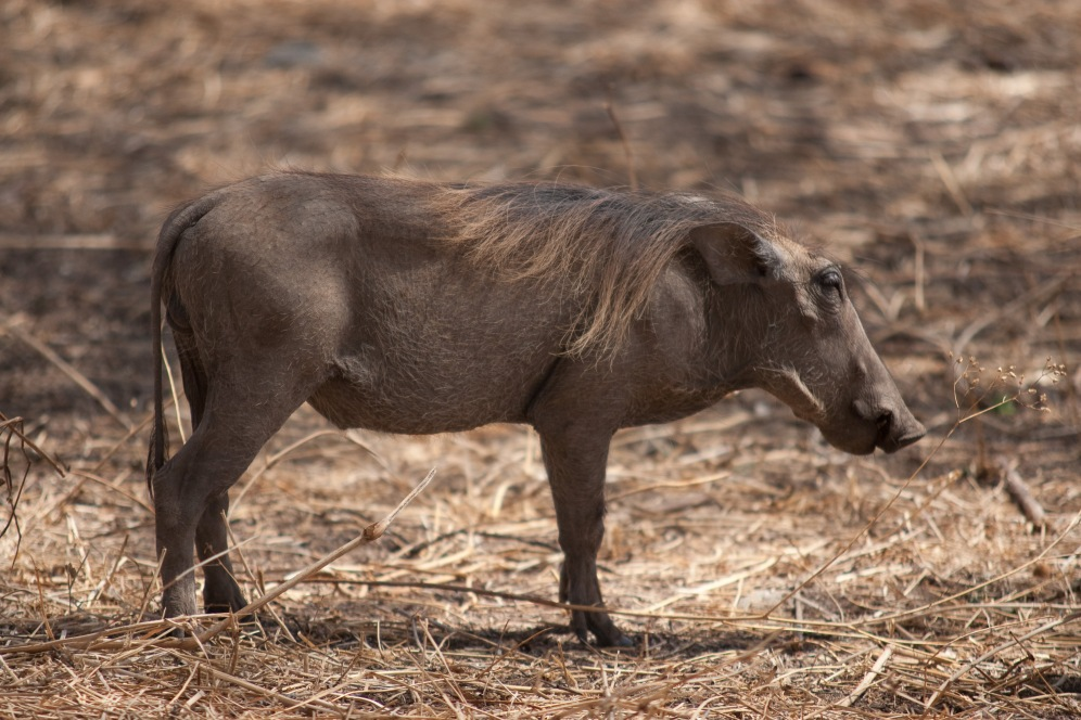 """Pumba"" Warthog. Photo by Andrew Knapp. Boma Africa"