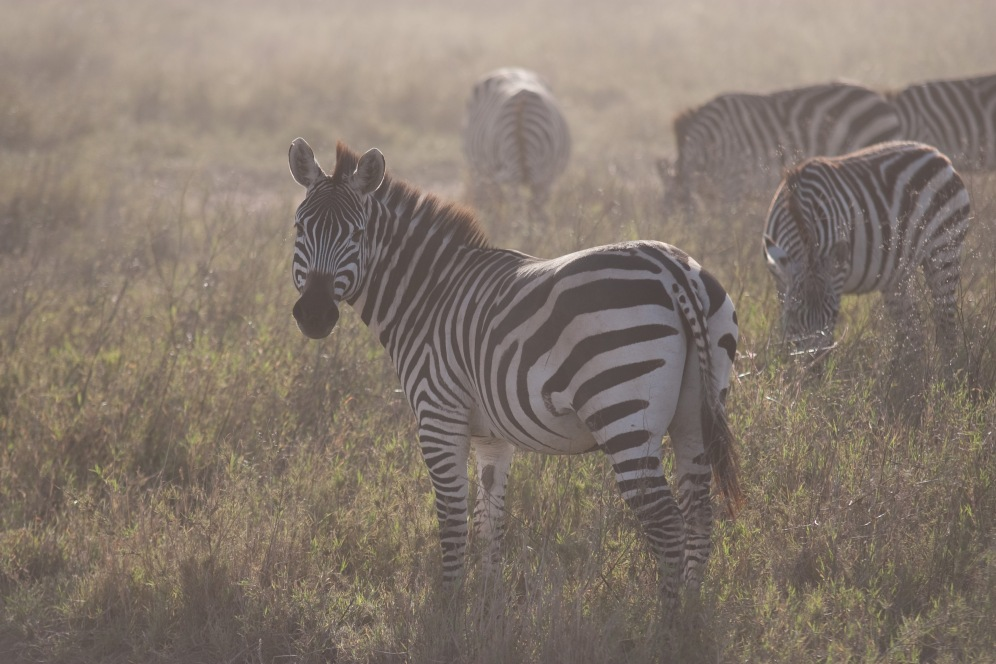 Zebras in the dust. Photo by Andrew Knapp. Boma Africa