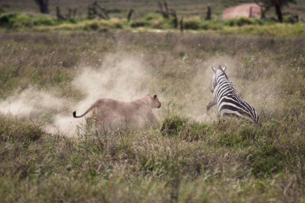 Zebra Hunt in the Ngorongoro Crater. Photo by Andrew Knapp Boma Africa.