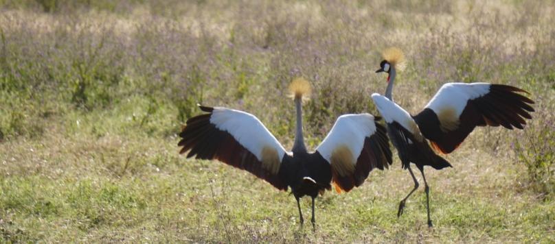boma africa ngorongoro tanzania non profit tourism serengeti kilimanjaro safari lion cub christmas travel adventure game drive wildlife crown crane