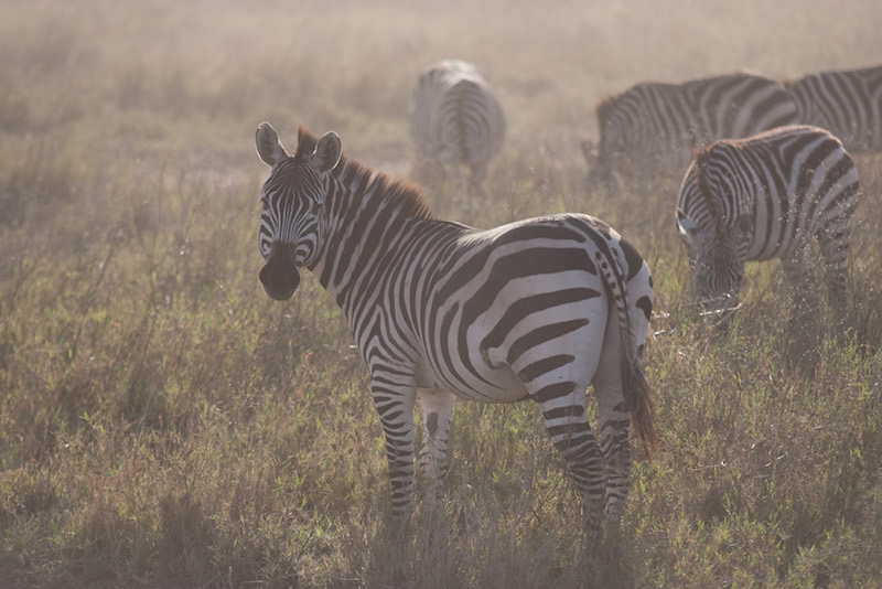 zebra- safari- knapp- picture- bomaafrica