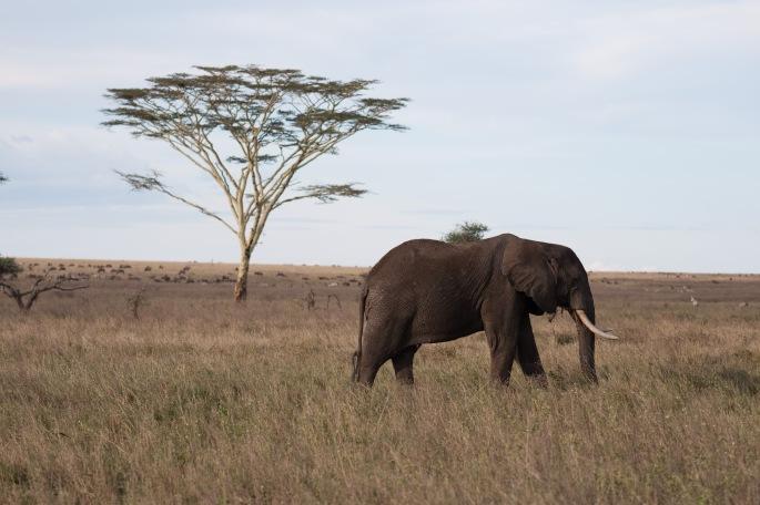 elephant`- knapp- safari- picture- boma africa